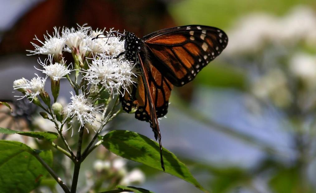 santuario de la mariposa monarca foto de pablo leautaud